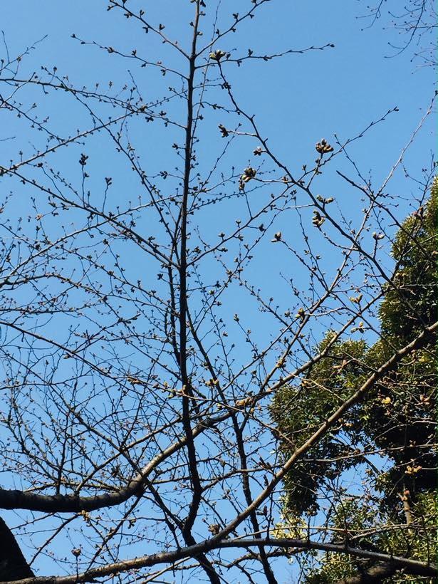 桜の開花が待ち遠しい