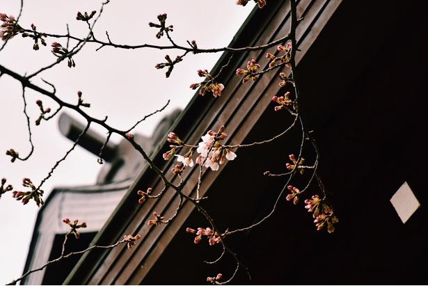 東京の桜の開花を観測するための「標本木」に確かに開花を確認。5~6輪以上の花が開いた状態で気象庁が「開花」を発表する