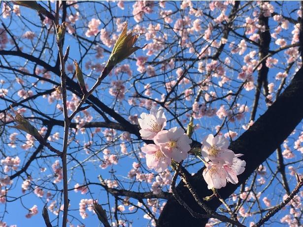 早咲きの大寒桜が開花していた!3月12日(月)現在7~8分咲きだった