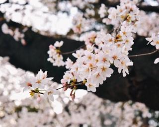東京の桜が満開に!靖国神社の標本木を見てきた