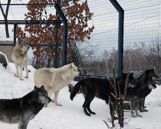 旭山動物園/オオカミファミリーを解説する手書き看板