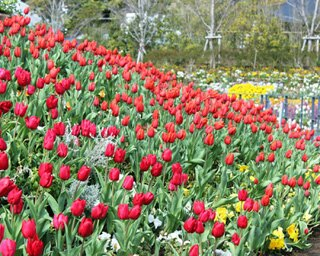 ラグーナテンボスで開催の「チューリップまつり」で春を満喫!