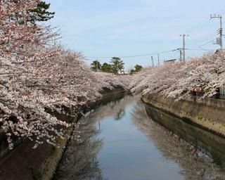 春到来!桜の名所・市川の真間川で桜まつりが初開催