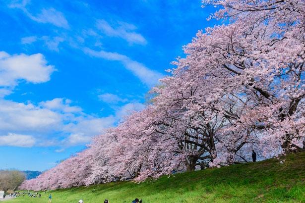 桜並木を上から一望できる「さくらであい館」/淀川河川公園 背割堤地区