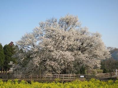 菜の花畑と桜のコントラストが艶やか「一心行の大桜」