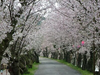 家族連れで賑わう県下屈指の花見の名所「立岡自然公園の桜」