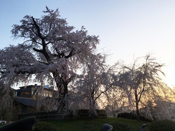 「祇園の夜桜」と呼ばれるヒトエシロヒガンシダレザクラ