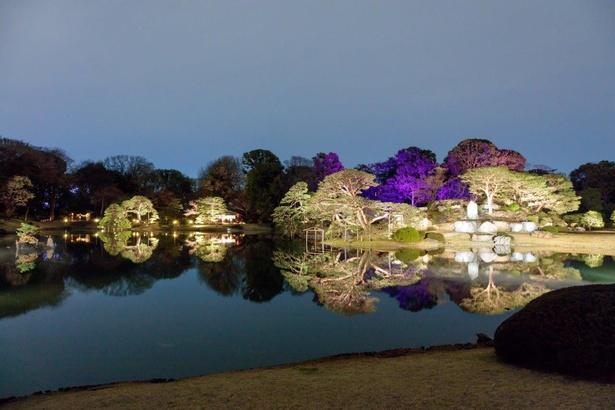 ライトアップされた六義園の桜