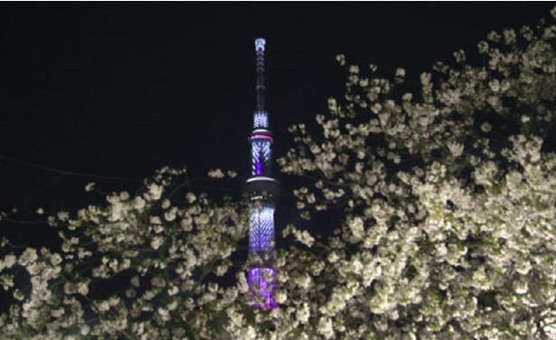 ライトアップされたスカイツリーと隅田公園の桜