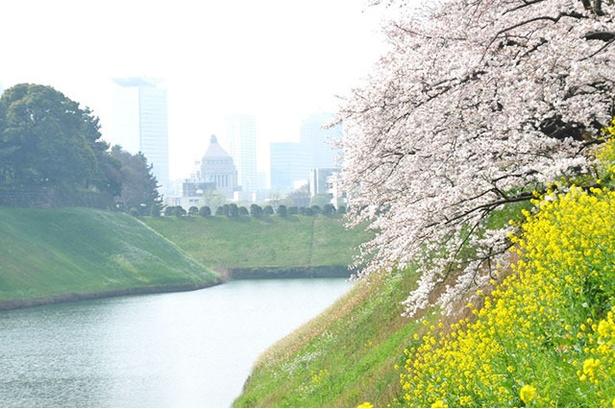 菜の花と桜のコントラストが美しい