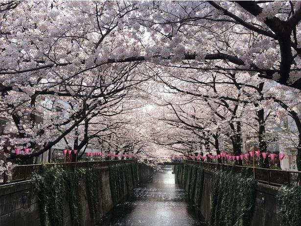 川を覆うように咲く、目黒川の桜