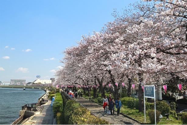 遊歩道沿いをピンク色に染める桜並木