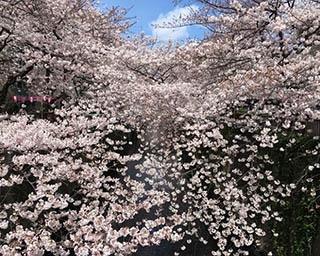 絶景桜に思わず息を呑む、東京都の桜名所ランキングTOP5をご紹介!