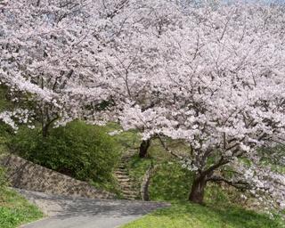 福岡・桜速報!人気の糸島エリアで発見!前原駅すぐの名所「笹山公園」