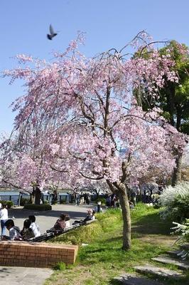 帝国ホテル前の枝垂れザクラ。若木だが濃い桜色が美しい
