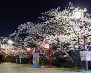 佐賀・桜速報!県下随一の名所「小城公園」