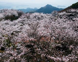 長崎・桜速報!紺碧の伊万里湾と鮮やかな桜の共演「大山公園」