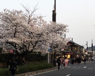 天龍寺前の通りも桜がきれい!