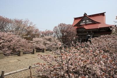 境内に咲き誇る桜。花を目の当たりにできる