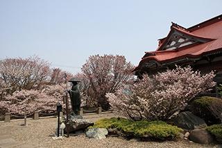 """実はレア! 桜前線の終着点で見る""""日本一遅い桜""""とは"""