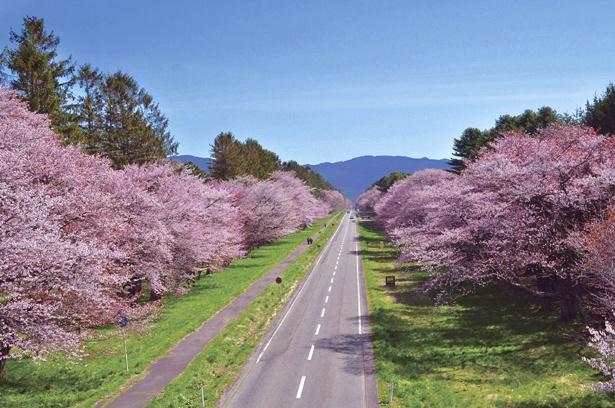 見られる桜は、エゾヤマザクラ、カスミザクラ、ミヤマザクラの3種類