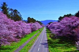 北海道で一番人気! 圧倒的なスケールの桜並木が誕生したわけは?