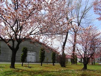 ニッカヰスキーの創業者、竹鶴も桜を愛していたそう