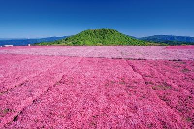 ブルーの空と芝桜が春の高原で共演!茶臼山高原の芝桜をみにいこう。