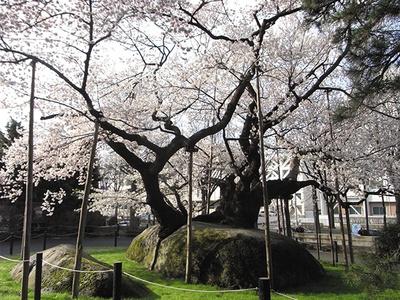 【写真を見る】周囲は21mもあり、国の天然記念物にも指定されている銘木だ