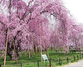 週末ドライブならコレ!盛岡にお花見を楽しむ小旅行へ