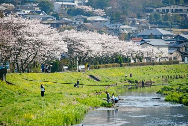 湯布院 大分川沿いの桜2018