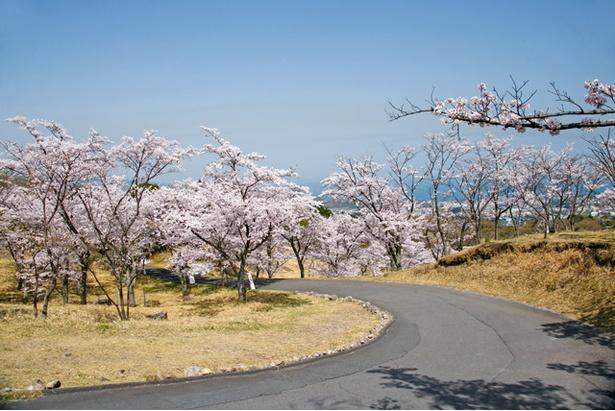 扇山桜の園の桜2018