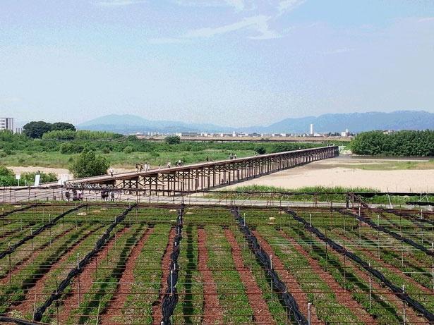 河川敷では抹茶の原料となる茶葉が栽培されている※18年4月現在流出中