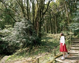 「下合瀬の大カツラ」。地域の御神木だった大カツラは、推定樹齢1000年で樹高34m、枝張り25m