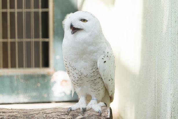 福岡市動物園/フクロウ
