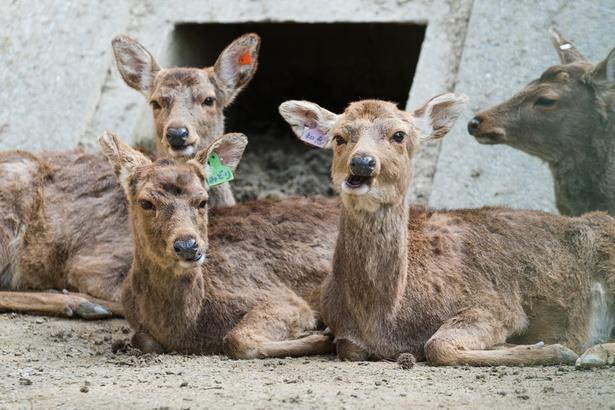 福岡市動物園/ツシマジカ