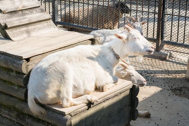 福岡市動物園/ヤギ