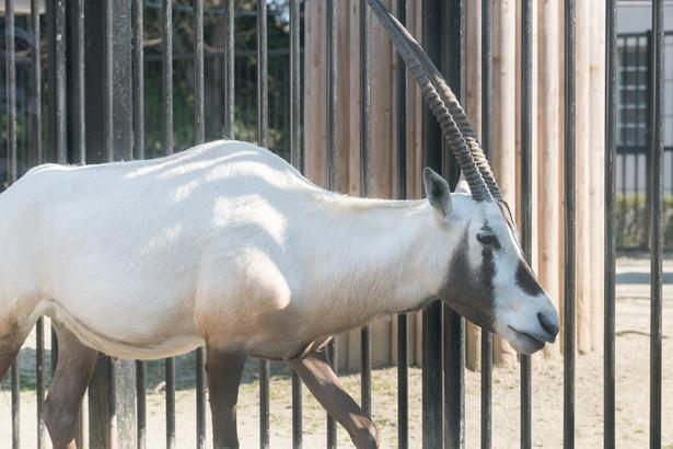 福岡市動物園/アラビアオリックス