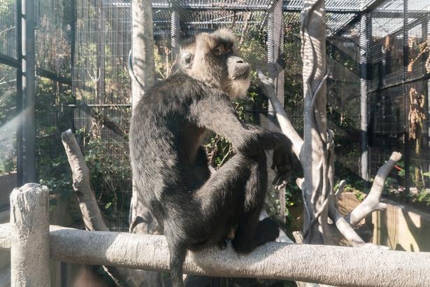 福岡市動物園/シシオザル