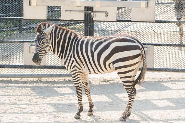 福岡市動物園/シマウマ