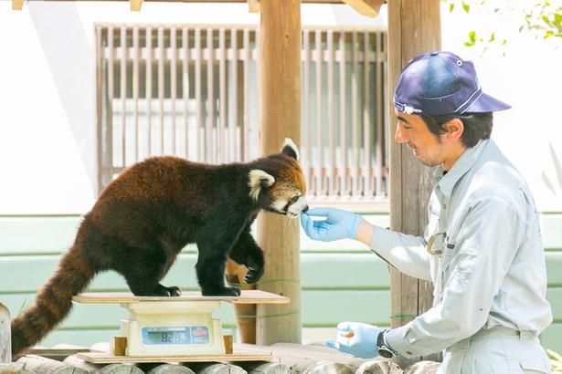福岡市動物園/シセンレッサーパンダ