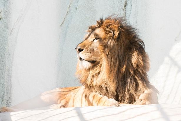 福岡市動物園/ライオン