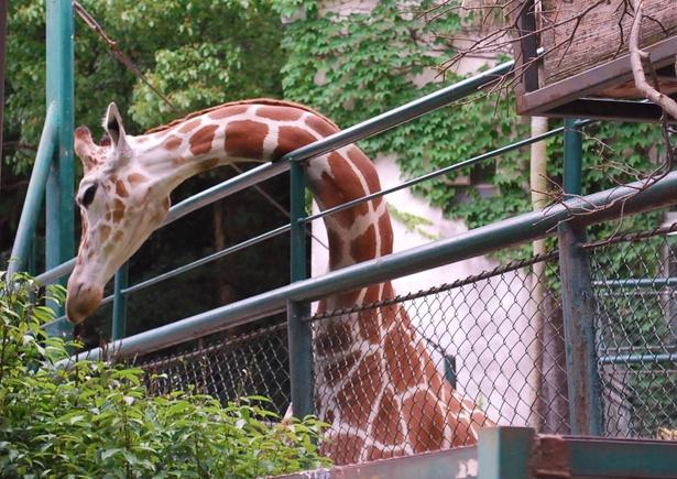 福岡市動物園/アミメキリンのリンダ