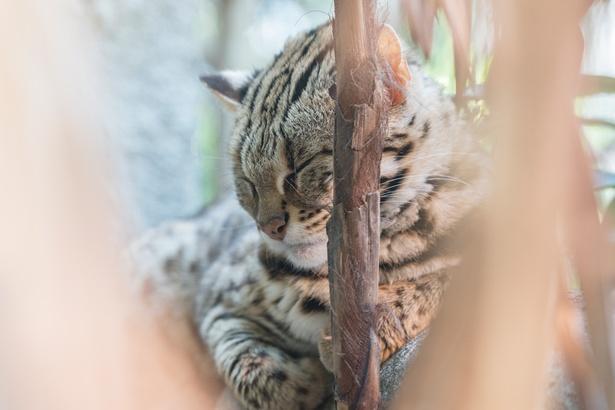「アジア熱帯の渓谷エリア」の「ベンガルヤマネコ」。お昼寝姿がキュート