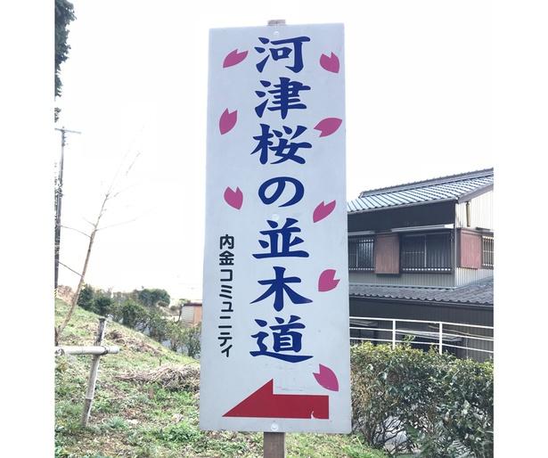 河津桜の並木道の看板を発見!