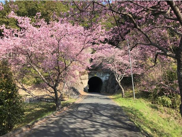 河津桜がキレイに咲いていました