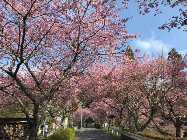 河津桜の並木道
