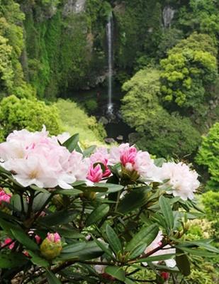 彩り鮮やかな世界のシャクナゲを堪能 裏見の滝自然花苑しゃくなげ祭り / 開催中~5月5日(祝)