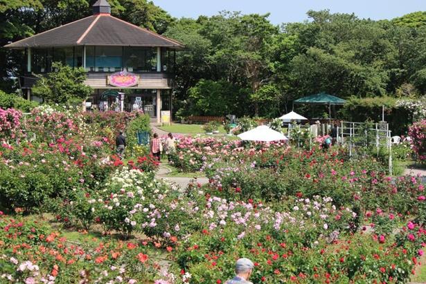 【写真を見る】ローズガーデンに250種2000株のバラが咲き乱れる こどものくに 春のバラまつり / 4月21日(土)~5月27日(日)