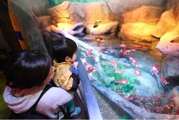 木曽川ゾーン。ソウギョやタモロコなどの淡水魚のほか、愛知県弥富市の金魚も展示される/グランドオープン当日の様子